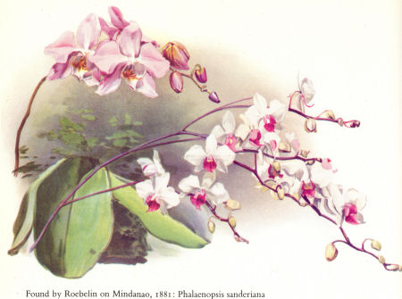 Roebelin on Mindanao, 1881: Phalenopsis sanderiana (orchid named after Frederick Sanders)